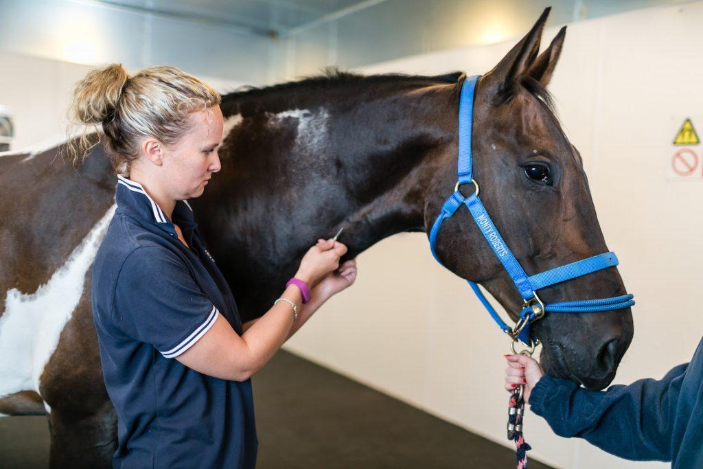 A vet preparing a horse for an MRI scanning