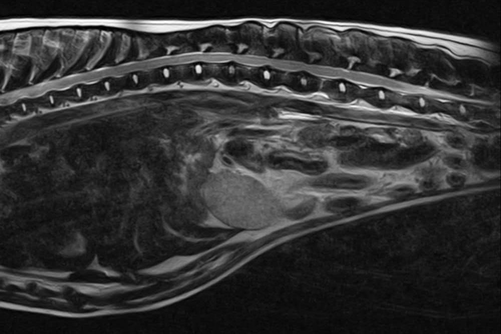 A small animal MRI scan